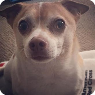 Chihuahua/Terrier (Unknown Type, Medium) Mix Dog for adoption in Keyport, New Jersey - Sir Chubbs