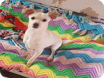 Chihuahua Dog for adoption in Hanford, California - MILO