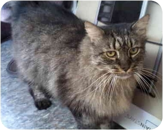 Maine Coon Cat for adoption in Boston, Massachusetts - Tiger