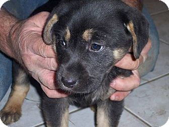 German Shepherd Dog/Labrador Retriever Mix Puppy for adoption in Germantown, Maryland - Greta