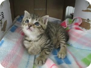 Domestic Shorthair Kitten for adoption in Island Park, New York - Stewie & Alvin