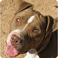 Bull Terrier Mix Dog for adoption in Las Cruces, New Mexico - Allie