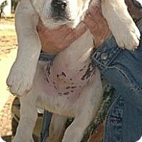 Adopt A Pet :: Chopper - Ranger, TX