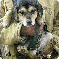 Adopt A Pet :: # 7 Shep Mix Pup URGENT! - Carrollton, OH