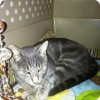 Adopt A Pet :: Mouse (Joan's Mom Cat) - Medford, NJ