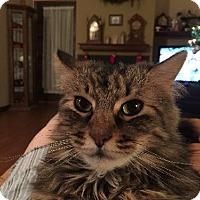 Adopt A Pet :: Schitzo - Harrisonburg, VA