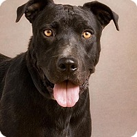 Labrador Retriever Mix Dog for adoption in Queen Creek, Arizona - Spree