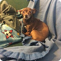 Chihuahua Mix Dog for adoption in Dayton, Ohio - CoCo- Chicago