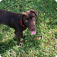 Labrador Retriever Mix Dog for adoption in Baton Rouge, Louisiana - Tonk