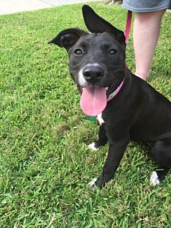 American Pit Bull Terrier/Boxer Mix Dog for adoption in Houston, Texas - Lyla