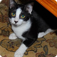 Domestic Shorthair Cat for adoption in Satellite Beach, Florida - Carmela