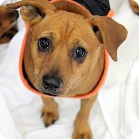 Chihuahua Mix Dog for adoption in Ft. Lauderdale, Florida - Karen