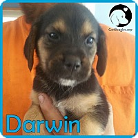 Adopt A Pet :: Darwin - Novi, MI