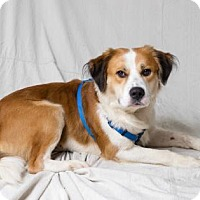 Adopt A Pet :: Dutch - Tulsa, OK