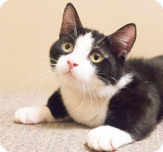 Munchkin Cat for adoption in Chicago, Illinois - Munch