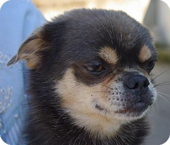 Pug Mix Dog for adoption in Longview, Washington - Bella