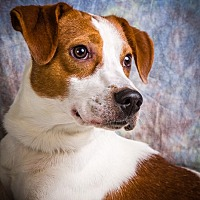 Basset Hound/Beagle Mix Dog for adoption in Anna, Illinois - GIDEON