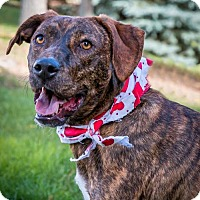 Mountain Cur/Catahoula Leopard Dog Mix Dog for adoption in Shakopee, Minnesota - Rosie Perez D3288