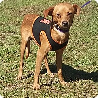Chihuahua/Terrier (Unknown Type, Small) Mix Dog for adoption in Carthage, North Carolina - Aaron