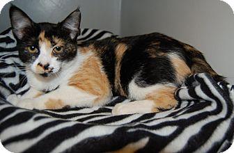 Calico Kitten for adoption in Richmond, Virginia - Priscilla