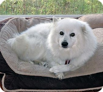 American Eskimo Dog Dog for adoption in Bradenton, Florida - Barnaby Jones of Tallahassee, FL