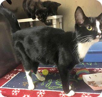 Domestic Shorthair Cat for adoption in Flint, Michigan - Madison