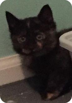 Domestic Shorthair Kitten for adoption in Herndon, Virginia - Lulu
