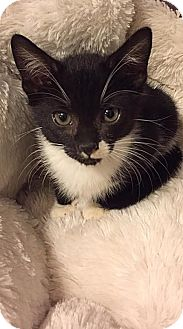 Domestic Shorthair Kitten for adoption in Mooresville, North Carolina - A..  Tandy