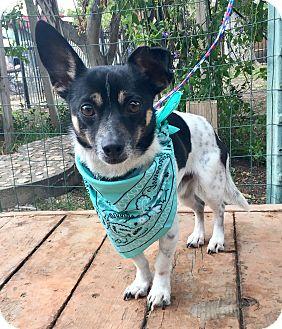Toy Fox Terrier/Dachshund Mix Dog for adoption in Santa Ana, California - Diego