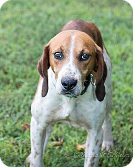 Hound (Unknown Type) Dog for adoption in Virginia Beach, Virginia - Cheech