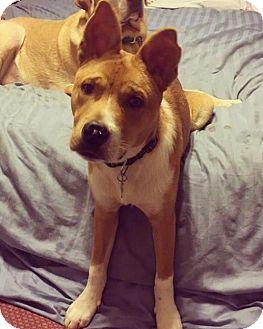 Basenji Mix Puppy for adoption in Houston, Texas - Efrain