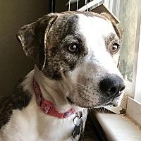 Terrier (Unknown Type, Medium)/Boxer Mix Puppy for adoption in Detroit, Michigan - Beba