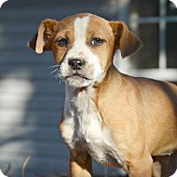 Adopt A Pet :: Anju - Glastonbury, CT