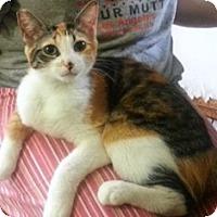 Calico Cat for adoption in Pasadena, California - Gala