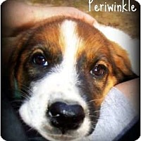 Adopt A Pet :: Periwinkle - Richmond, VA
