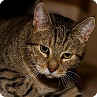 Domestic Shorthair Cat for adoption in BROOKSVILLE, Florida - Olive