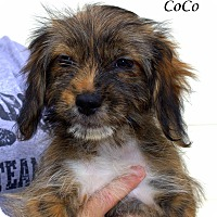 Adopt A Pet :: Coco - Yuba City, CA
