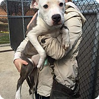 Adopt A Pet :: Tulip - Villa Park, IL