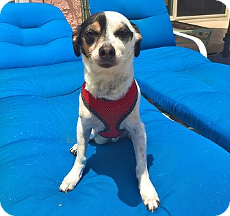 Jack Russell Terrier/Rat Terrier Mix Dog for adoption in Los Angeles, California - Adorable Lucky
