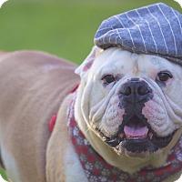 English Bulldog Dog for adoption in Boynton Beach, Florida - Ocean