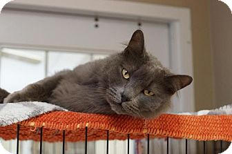 Domestic Longhair Cat for adoption in Naperville, Illinois - Porter