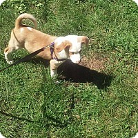 Labrador Retriever Mix Puppy for adoption in Lakeville, Minnesota - Gigit