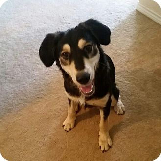 Shepherd (Unknown Type) Mix Dog for adoption in Wichita Falls, Texas - Roscoe
