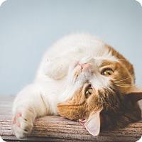 Adopt A Pet :: Angel - Hendersonville, NC