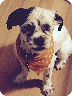 Shih Tzu/Lhasa Apso Mix Dog for adoption in North Olmsted, Ohio - Ollie