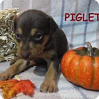 Adopt A Pet :: Piglet - Batesville, AR