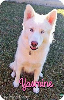 Siberian Husky Dog for adoption in Carrollton, Texas - Yasmine--Coming soon!
