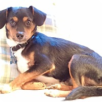 Dachshund/Chihuahua Mix Dog for adoption in Barium Springs, North Carolina - ANDY