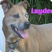 Adopt A Pet :: Laydee - Sarasota, FL