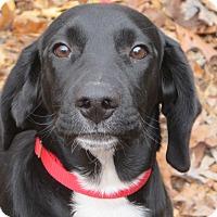 Adopt A Pet :: Apollo - reduced for Christmas - Harrisonburg, VA